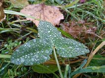 Morning dew. Autumn dew on the grass Stock Images