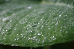 Morning dew. On a beautiful fresh green leaf Royalty Free Stock Photos