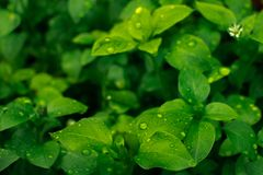 Morning dew on beautiful green leaves. Morning morning dew on beautiful green leaves. Green blanket of leaves Royalty Free Stock Image