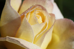 Morning Dew Bejeweled Peace Rose. This is a yellow and pink climbing peace rose, rosa, bejeweled with the early morning dew royalty free stock photo