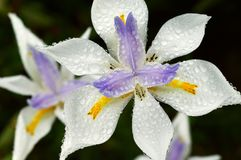 Morning dew drops on a white iris. Iris is a species of flowering plants with showy flowers. Irises are perennial plants, growing from creeping rhizomes &#x28 royalty free stock photos