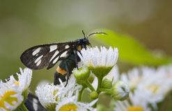 Morning dew on butterfly and daisy Royalty Free Stock Photos