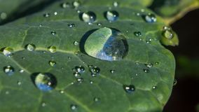 Morning dew. On cabbage leaf Stock Photo