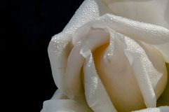 Wet rose. Flowers of my garden. royalty free stock photography