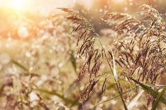 Morning dew on the cane stock image