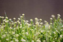 Morning dew with chamomile Royalty Free Stock Photo