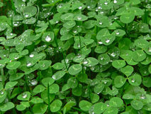 Morning Dew on Clover. Dew droplets on clover, fairly close up and detailed. good for a background royalty free stock photography