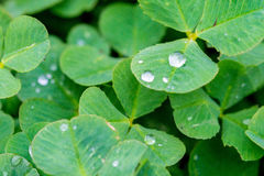 Morning dew on clower leaves Royalty Free Stock Photo