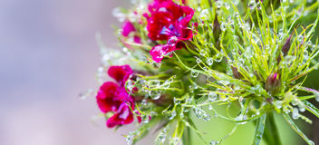 Morning dew drips on a flower Royalty Free Stock Images