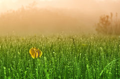 Morning dew drops. On the green grass Stock Photos