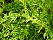 Morning dew. Drops of morning dew on the branches arborvitae Royalty Free Stock Image