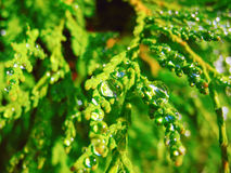 Morning dew. Drops of morning dew on the branches arborvitae Royalty Free Stock Images