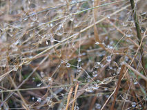 Morning dew. Drops of dew on dry grasses in the early morning Stock Photo