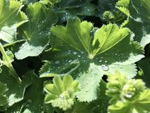 Morning dew drops on fresh green geranium leaves. Morning water dew drops on fresh green geranium leaves stock photos