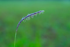 Morning Dew Drops on Grains of Wild Grass Stock Photo