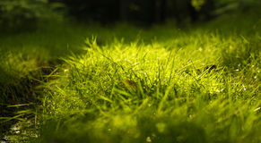 Morning dew drops on grass. In the morning sunlight Royalty Free Stock Photos