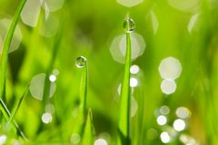 Morning dew drops on the green grass. Closeup of morning dew drops on the green grass royalty free stock images