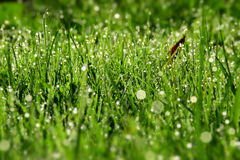 Morning dew drops on the green grass Royalty Free Stock Image