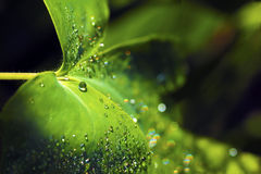 Morning dew drops. Morning dew drops on a green leaf in the summer period stock images