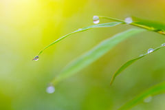Morning dew drops on green leaves Royalty Free Stock Photography