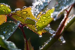 Morning Dew drops Stock Photo
