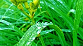Morning dew. Early morning macro of wet grass Royalty Free Stock Image