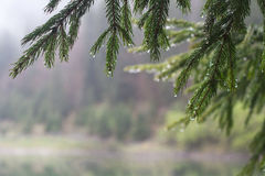 Morning dew on fir tree branches stock photos