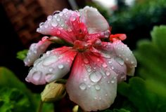 Morning Dew. On a flower early In the morning Royalty Free Stock Photo