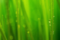 Morning dew, fresh green grass and rain drops background Stock Photography