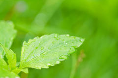 Morning dew on fresh leaf. Royalty Free Stock Image
