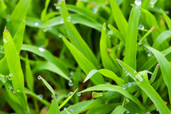 Morning dew on grass Royalty Free Stock Photos