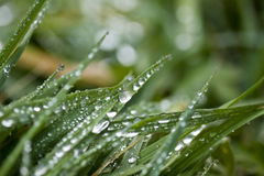 Morning Dew on Grass. Dew drops on blades of grass Royalty Free Stock Photography