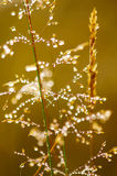 Morning dew on grass. Morning dew. Shining water drops on grass over golden sunlight. Shallow depth of field Royalty Free Stock Photos