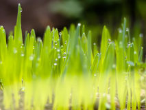 Morning Dew on Grass Royalty Free Stock Image