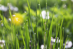 Morning dew in the grass closeup, bright nature morning water dr Royalty Free Stock Photography