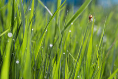 Morning dew in the grass closeup, bright nature morning water dr Royalty Free Stock Photo