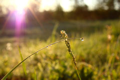 Morning dew on the grass. Morning dew in the grass at dawn Stock Image
