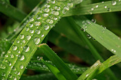 Morning dew on grass. Droplets of water on grass leaves Stock Images