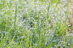Morning dew on the grass field. Royalty Free Stock Image