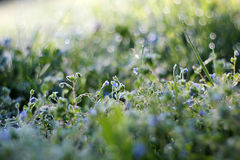 Morning dew on grass with flower. Morning dew on grass with blue flower, beautiful nature background with shallow depth of field Royalty Free Stock Photo