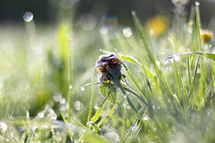 Morning dew on grass with flower. Morning dew on grass with purple flower, beautiful nature background with shallow depth of field Royalty Free Stock Photo