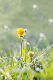 Morning dew on grass with flower. Morning dew on grass with yellow flower, beautiful nature background with shallow depth of field Stock Photos
