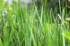 Morning dew in the grass. Freshness morning water drops Royalty Free Stock Photo