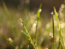 Morning Dew on grass royalty free stock photo