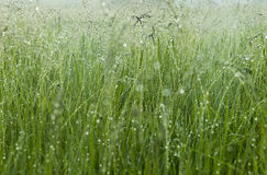 Morning dew on the grass. Green lush grass with dew drops on the stems in the light of the rising sun. Spring dawn in the meadow stock image