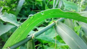 Morning dew on grass leaves Royalty Free Stock Photo