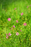 Morning dew in grass with litt. Macro of dew drops on blades of grass with little pink flowers Royalty Free Stock Photo