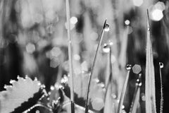 Morning dew. Grass in meadow, covered with morning dew. Macro. Bokeh. Black and white photo Stock Photography
