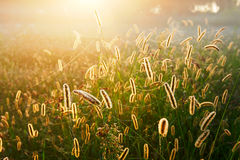 Morning dew of grass Stock Photography