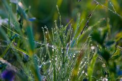 Morning dew on the grass, with threads of web. Royalty Free Stock Images